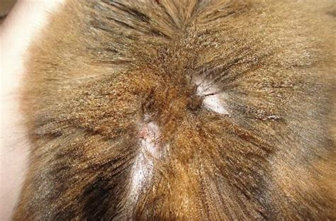 it looks like i have a bald spot near my bangs how to tell if your cat has fleas 8 telltale signs pest