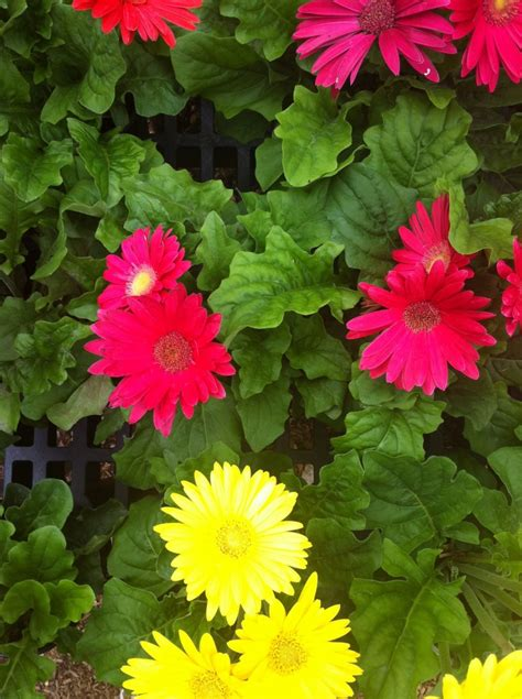 gerber daisies gerber daisies and other plantings for spring tropical florida gardens