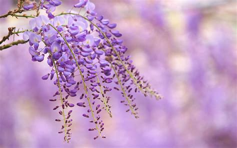 wisteria flower wisteria flower wallpaper high definition high quality