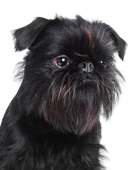 griffon dogs 1000 images about griffon dogs on griffon bruxellois brussels and