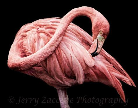 flamingo wallpaper black and white 96 best flamingos images on pinterest flamingos pink