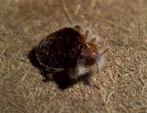 baby bed bug what do baby bed bugs look like the bed bug inspectors