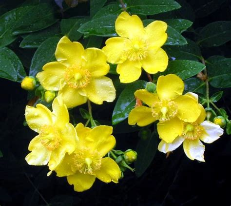 Yellow Flower Garden Shrubs