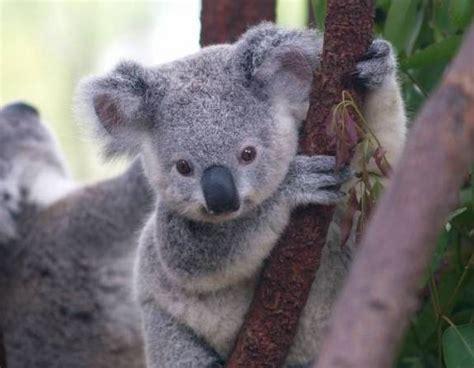 imagenes bellas de koalas hermosas tiernas y espectaculares im 225 genes de animales