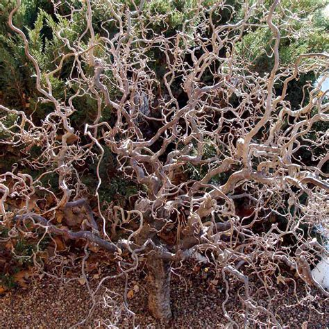Corkscrew Hazel (Corylus avellana Contorta)   Trees Shrubs