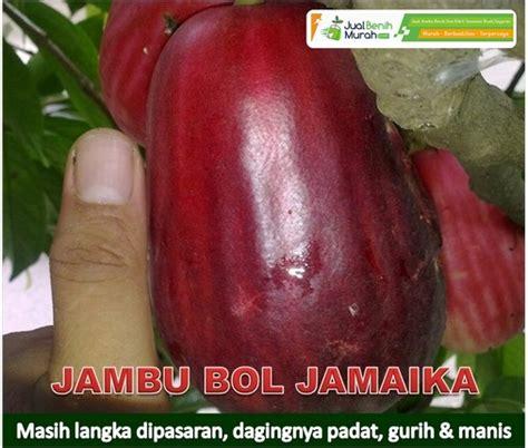 Benih Jambu Bol jambu bol jamaika jualbenihmurah