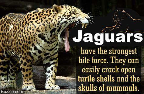rainforest jaguar facts meet the terrifically powerful rainforest animal the jaguar