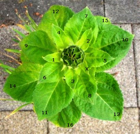 number pattern found in nature passy s world of ict fibonacci sequence in music