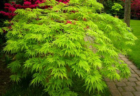 japanese maple shade filigree japanese maple for sale the tree center