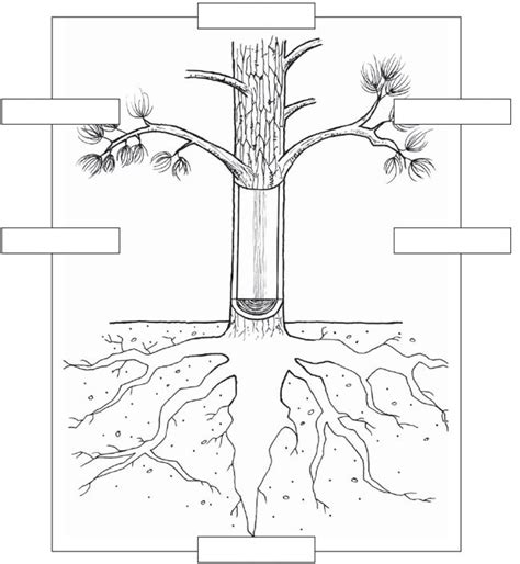 tree diagram coloring page download plant parts coloring pages and activities