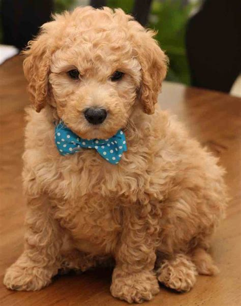 mini doodle wiki goldendoodle creeks musings goldendoodle do they shed