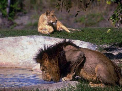 imagenes de leones gratis tigres y leones fondos de pantalla animales fondos
