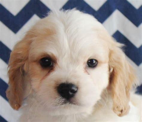 puppies columbia sc cavachon puppies for sale columbia sc 197760 petzlover