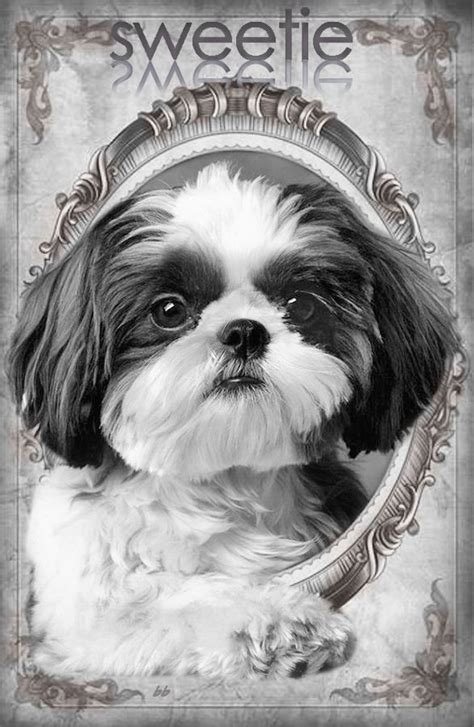 s shih tzu heaven 311 best shih tzu heaven images on fluffy pets shih tzu puppy and shih tzus