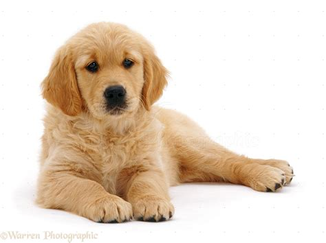 golden retriever white puppy golden retriever white background 2 widescreen wallpaper dogbreedswallpapers