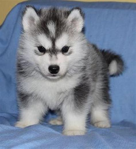 miniature siberian husky puppies for sale photos free siberian husky puppies in siberian husky puppies breeds picture