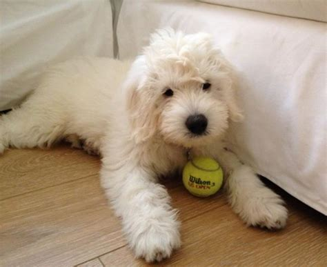 mini goldendoodles teddy a beautiful teddy goldendoodle englishgoldendoodle