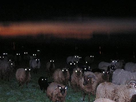sheep  night  terrifying barnorama