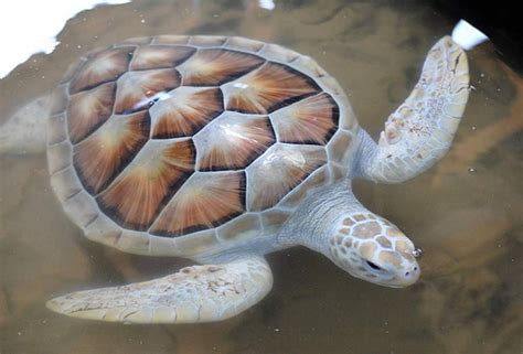 imagenes de tortugas blancas la tortuga albina de sri lanka en peligro de extinci 243 n