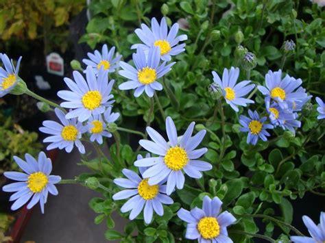 Photo of the bloom of Felicia (Felicia amelloides Pinwheel