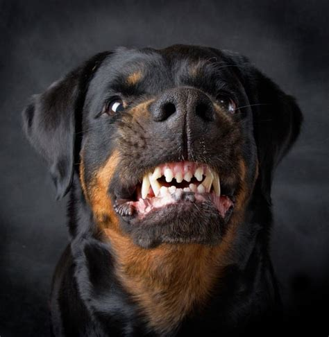 how to your not to attack other dogs do rottweilers make dogs rottlover