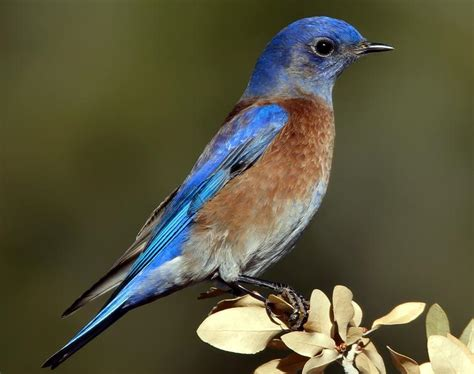top 28 western bluebird song oregon birds western