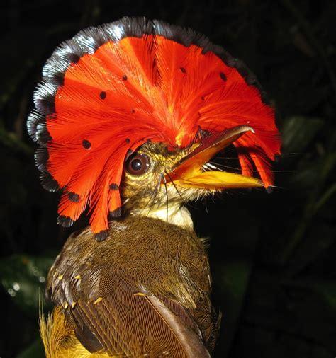 royal flycatcher 187 gagdaily news
