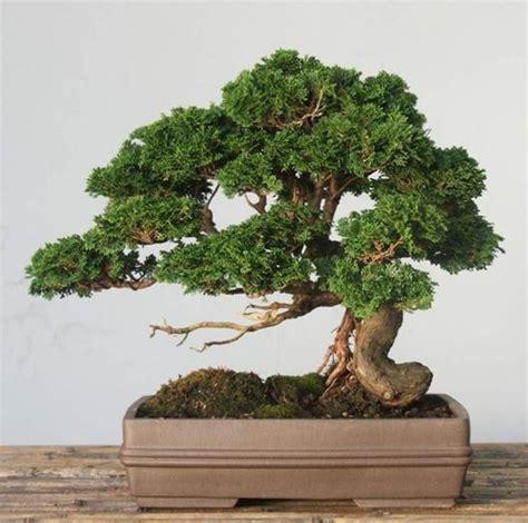 vasi da bonsai bonsai cipresso attrezzi e vasi per bonsai come