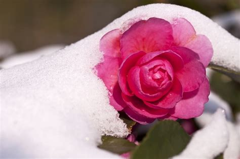 fiore neve i fiori sfidano la neve foto pollicegreen