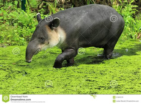 House Plans For A View central american tapir stock photos image 31391573