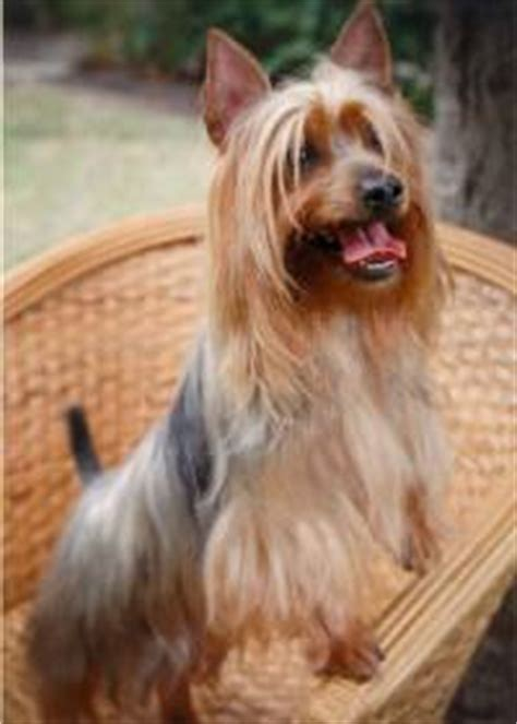 australian yorkie terrier silky terrier curly hair curly hair
