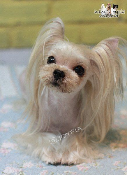 cute yorkie bangs 50 damn cute yorkie haircuts for your puppy hairstylec