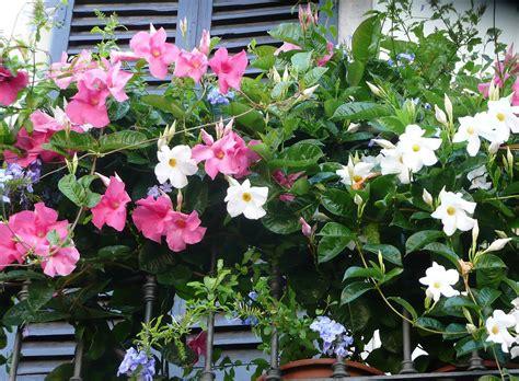 sundaville fiore mandevilla exotica ideala pentru lasamente insorite