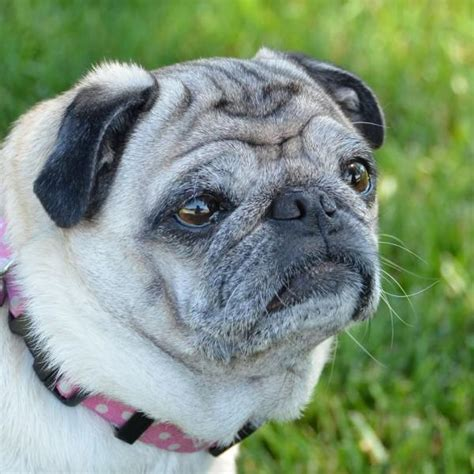 why do pugs wrinkles the terrible cuteness of push dogs or malachy is coming breath