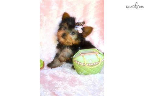 teacup yorkie for sale 300 dollars near me teacup tiny tabatha has been sold terrier yorkie puppy for sale near