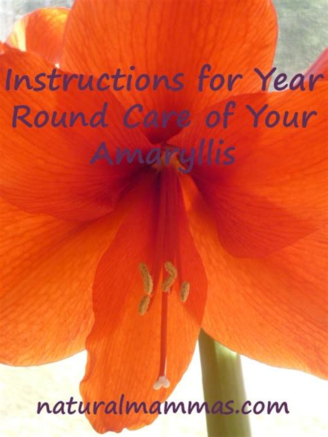 the 53 best images about amaryllis paperwhites and christmas cactus on pinterest flower
