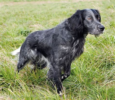 french setter dog breed pointing dog blog breed of the week the blue picardy spaniel