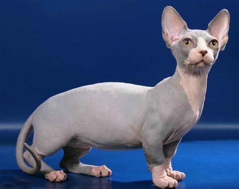 la bambino surfingpets 191 cu 225 ntas razas de gatos pelo conoces