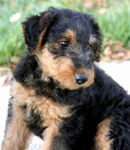 airdale puppy higgins the airedale terrier puppies daily puppy