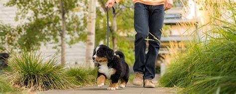 how do i my puppy how do i my puppy pawbase australia