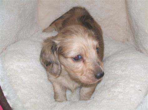 dachshund puppies for adoption 404 page not found
