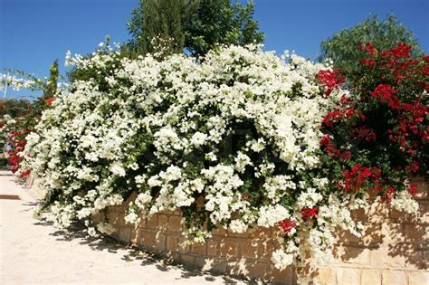 entrada hoa red and white bougainvillea flowers in stock photo