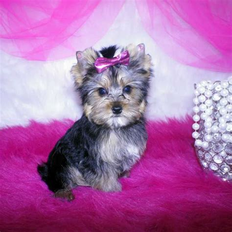 yorkie small small yorkie puppy for sale teacup yorkies sale