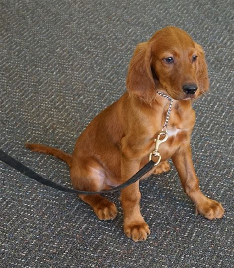 setter dog training chief irish setter puppy man s best friend