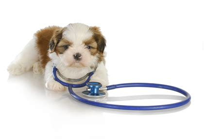 shih tzu dogs health shih tzu small breed