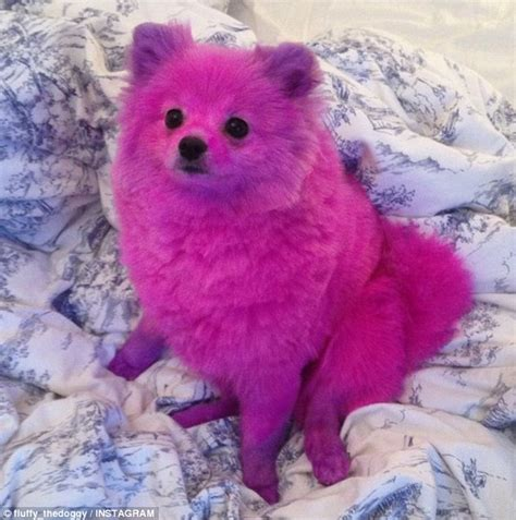 pomeranian hair dye lia catreux dyes pomeranian s fur pink causing outrage among animal