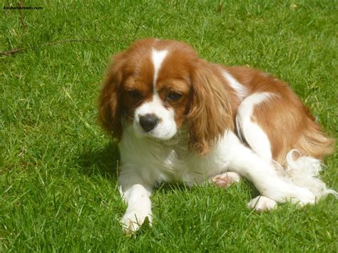 cavalier puppies cavalier king charles spaniel pictures information temperament characteristics