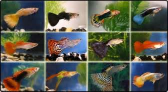guppies colors nature lover guppy fish