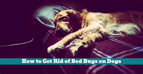 how to get rid of dogs how to get rid of bed bugs on dogs korrectkritterscom