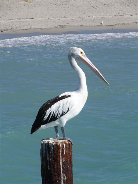 pelican decorations to complete your coastal or